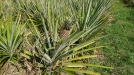 Pineapples growing in an adjacent field